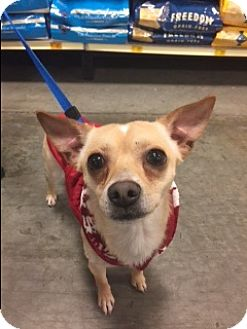 Chihuahua Mix Dog for adoption in Bellingham, Washington - Andy