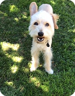 Terrier (Unknown Type, Small)/Maltese Mix Dog for adoption in Los Angeles, California - AMBOY