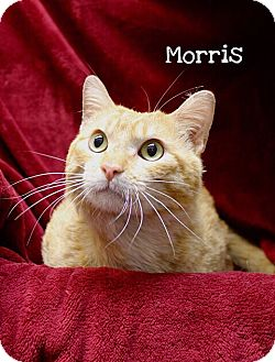 Domestic Shorthair Cat for adoption in Foothill Ranch, California - Morris