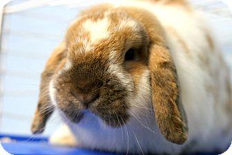 Lop, English for adoption in Staunton, Virginia - Snugs