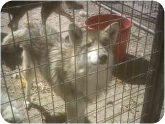 Alaskan Malamute/Husky Mix Dog for adoption in Las Vegas, Nevada - ORIN