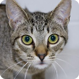 Domestic Shorthair Cat for adoption in Salem, Massachusetts - Dexter