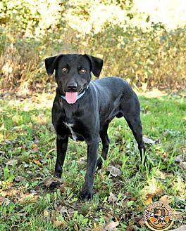 Labrador Retriever Mix Dog for adoption in Mt. Vernon, Indiana - Reagan