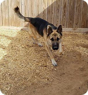 German Shepherd Dog Dog for adoption in Hartford, Connecticut - Brody