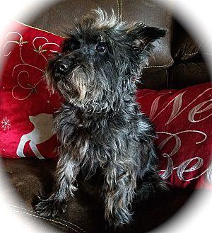 Miniature Schnauzer Dog for adoption in Sharonville, Ohio - Sekura