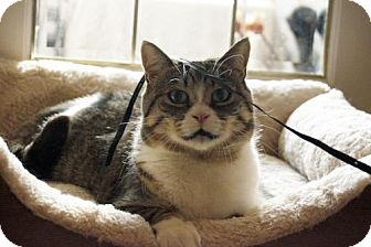 Domestic Shorthair Cat for adoption in Toronto, Ontario - Tessa