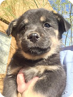 German Shepherd Dog/Australian Cattle Dog Mix Puppy for adoption in Cave Creek, Arizona - Heidi
