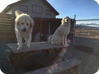 Akbash Mix Dog for adoption in Gunnison, Colorado - Poot