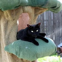Domestic Shorthair Cat for adoption in Denver, Colorado - Beauty