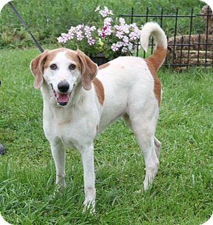Hound (Unknown Type) Mix Dog for adoption in Huntley, Illinois - Josie