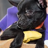 Adopt A Pet :: Pepito - Colorado Springs, CO