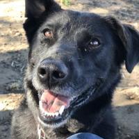 Labrador Retriever Mix Dog for adoption in The Dalles, Oregon - Zoey
