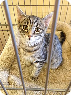 Maine Coon Kitten for adoption in Edgewater, New Jersey - Jenn