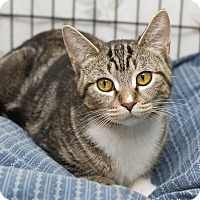 Domestic Shorthair Kitten for adoption in Fallbrook, California - Meredith