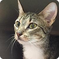 Adopt A Pet :: Precious - Chicago, IL