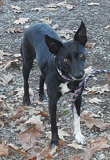Border Collie/Cattle Dog Mix Dog for adoption in Rockaway, New Jersey - Daisy (Mona SCAS)