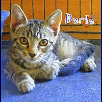 Adopt A Pet :: Darla - Culpeper, VA