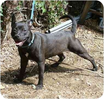 Staffordshire Bull Terrier/American Staffordshire Terrier Mix Dog for adoption in Bellflower, California - Lola & Flora