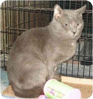 Domestic Shorthair Cat for adoption in Colmar, Pennsylvania - Zephyr