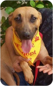 Terrier (Unknown Type, Medium)/Belgian Malinois Mix Dog for adoption in Coral Springs, Florida - Cindy