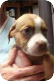 Boxer Mix Puppy for adoption in Old Bridge, New Jersey - Maria
