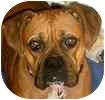 Boxer Dog for adoption in Hamilton, Ontario - Maddie