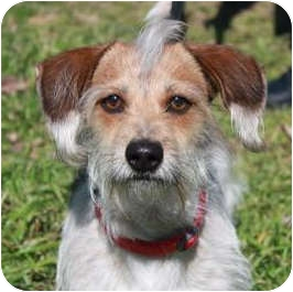 Terrier (Unknown Type, Small)/Jack Russell Terrier Mix Dog for adoption in Westport, Connecticut - *Mighty Max - PENDING