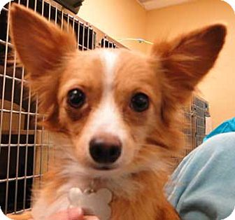 Chihuahua Dog for adoption in Schertz, Texas - Sonny