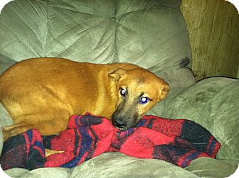 Shepherd (Unknown Type) Mix Puppy for adoption in Lebanon, Maine - Diego-URGENT in MD(See Diesel)