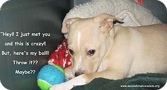 Australian Terrier/English Bulldog Mix Puppy for adoption in Salem, Oregon - Juniper
