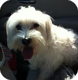 Havanese Dog for adoption in Boulder, Colorado - Giselle