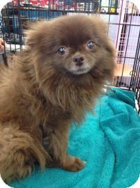 Pomeranian Mix Dog for adoption in Tucson, Arizona - Mousse