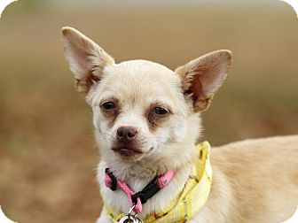 Chihuahua/Pomeranian Mix Dog for adoption in Ile-Perrot, Quebec - Darlin'