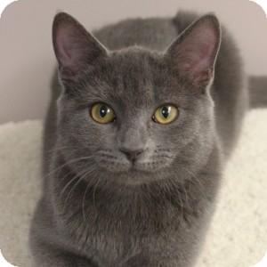 Domestic Shorthair Kitten for adoption in Naperville, Illinois - Naomi