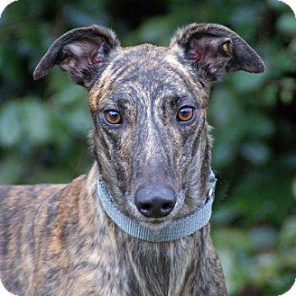 Greyhound Dog for adoption in Portland, Oregon - Old Gold