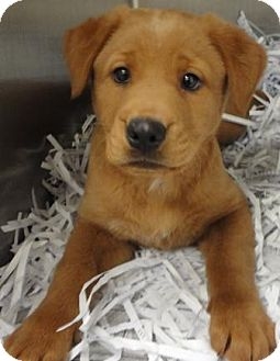 Retriever (Unknown Type) Mix Puppy for adoption in Jacksonville, Arkansas - Bambi