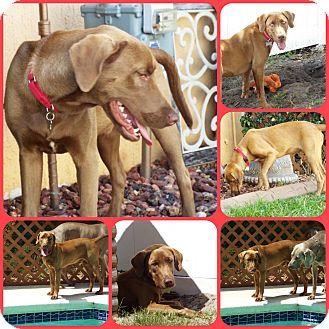 Weimaraner/Labrador Retriever Mix Dog for adoption in Inverness, Florida - LINCOLN