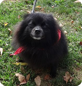 Pomeranian Mix Dog for adoption in Middletown, New York - Puff