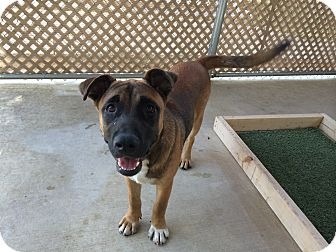 Shepherd (Unknown Type)/Boxer Mix Dog for adoption in San Antonio, Texas - Duke
