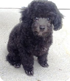 Poodle (Toy or Tea Cup) Puppy for adoption in Dover, Massachusetts - Puppy