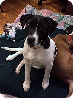 Labrador Retriever Mix Puppy for adoption in Stamford, Connecticut - DAVIS - fostered in CT
