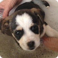 Adopt A Pet :: Female Puppy - Scottsdale, AZ