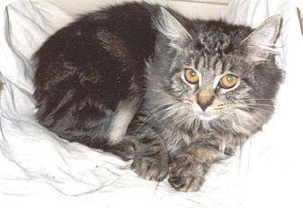 Domestic Longhair Kitten for adoption in Wakefield, Massachusetts - Misty