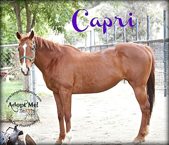 Quarterhorse Mix for adoption in Canyon Country, California - Capri
