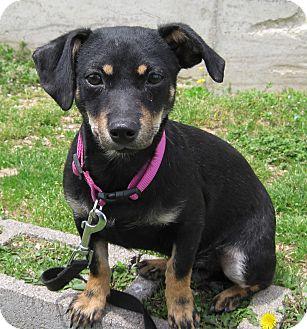Dachshund Mix Puppy for adoption in Branson, Missouri - Ladybug