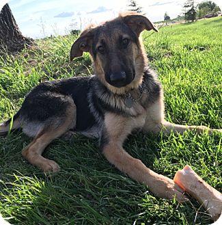 German Shepherd Dog Puppy for adoption in Modesto, California - Gaia