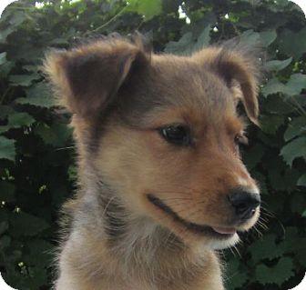 Shepherd (Unknown Type)/Labrador Retriever Mix Puppy for adoption in Waldron, Arkansas - CELERIE