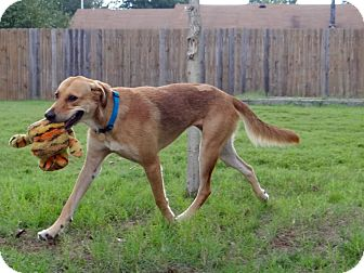 Golden Retriever/Labrador Retriever Mix Dog for adoption in Knoxville, Tennessee - Mia