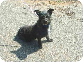 Terrier (Unknown Type, Small) Mix Dog for adoption in Greenville, Alabama - Chucky
