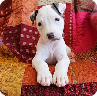 American Pit Bull Terrier/American Staffordshire Terrier Mix Puppy for adoption in santa monica, California - Katie